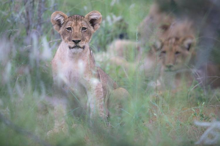Young lion lying in the grass at Limpopo