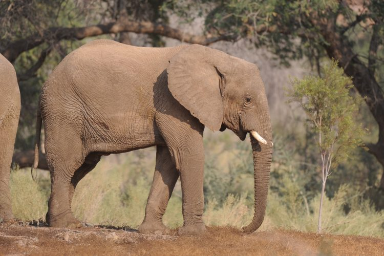 Young bull elephant in Namibia