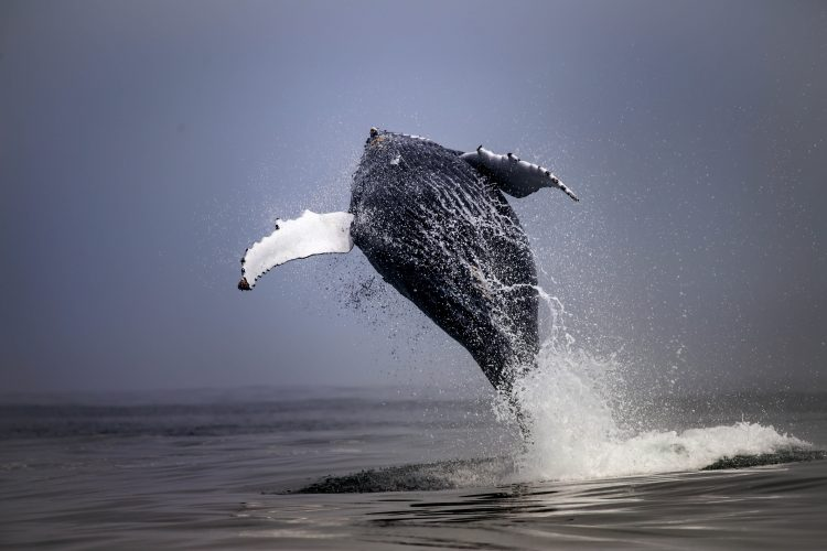 Intern Pietro taking photo of humpback whale in Cape Town
