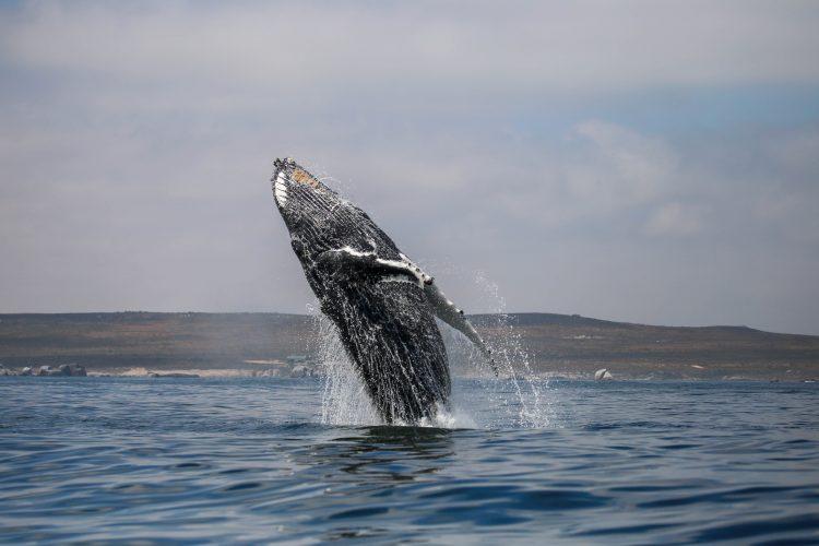 Intern Pietro taking photo of humpback whale breaching