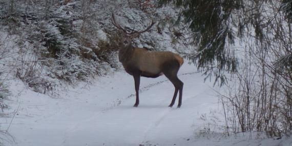 Stag in Slovakia mountains