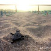 Volunteer with Sea Turtles in Sal Island, Cape Verde