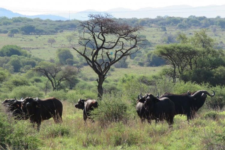 Buffalo in South Africa