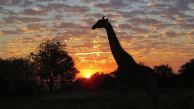 Giraffe at wildlife reserve in South Africa at sunset