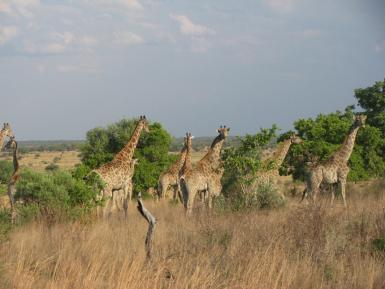 Giraffes walking in South Africa