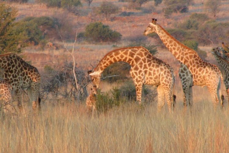Mother and baby giraffe in South Africa