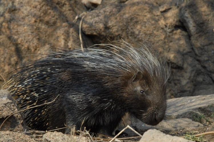 Porcupine in South Africa