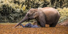 Mother and baby elephant in Laos