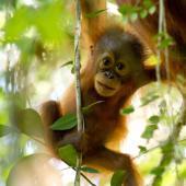 Orangutan Conservation Volunteer Project, Indonesia