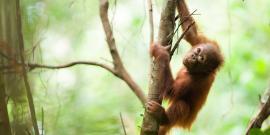 baby orangutan crawling tree