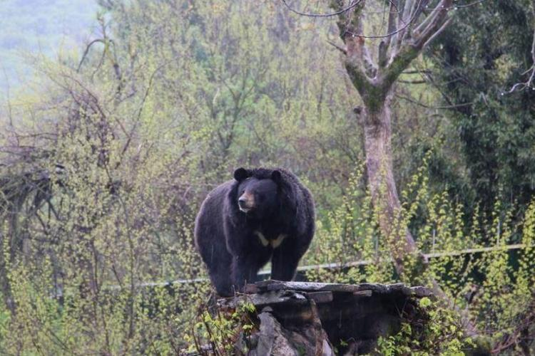 Moon bear in India
