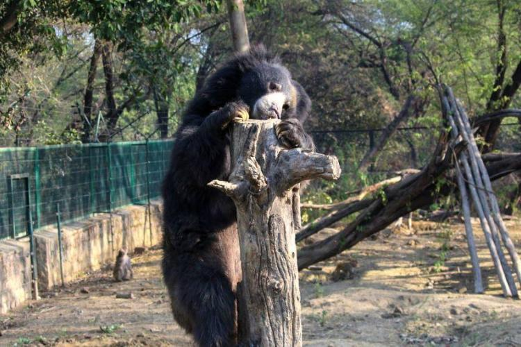 Bear climbing tree at sanctuary in India