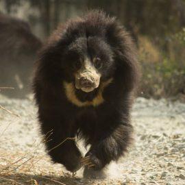 Bear running at wildlife sanctuary