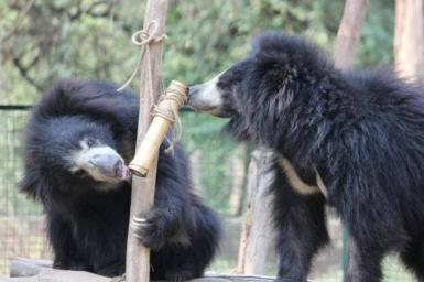 Bears playing at sanctuary in India