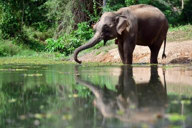 Elephant bathing in river in Laos