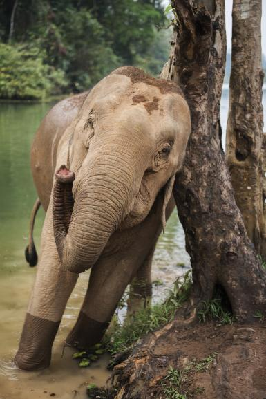Elephant scratching on tree in Laos