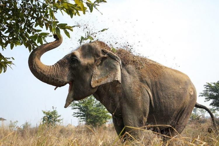 Elephant eating leaves in India