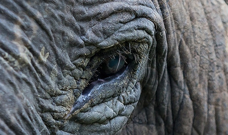 Elephant eye closeup
