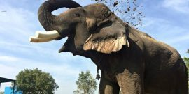 Elephant flicking dirt in India