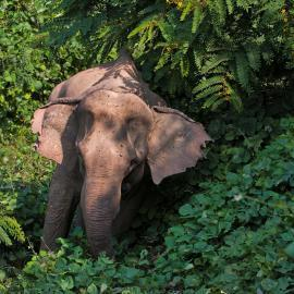 Elephant in jungle in Laos