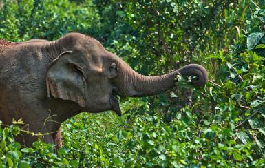 Elephant in Laos jungle