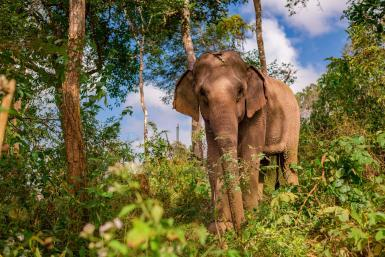 Elephant in the jungle in Laos