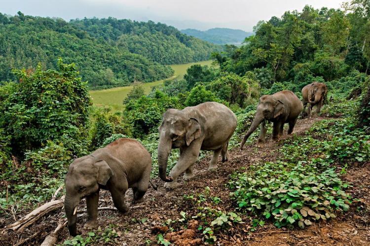 Elephants walking in Laos