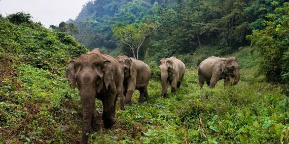 Elephants Walking through Forest in Laos