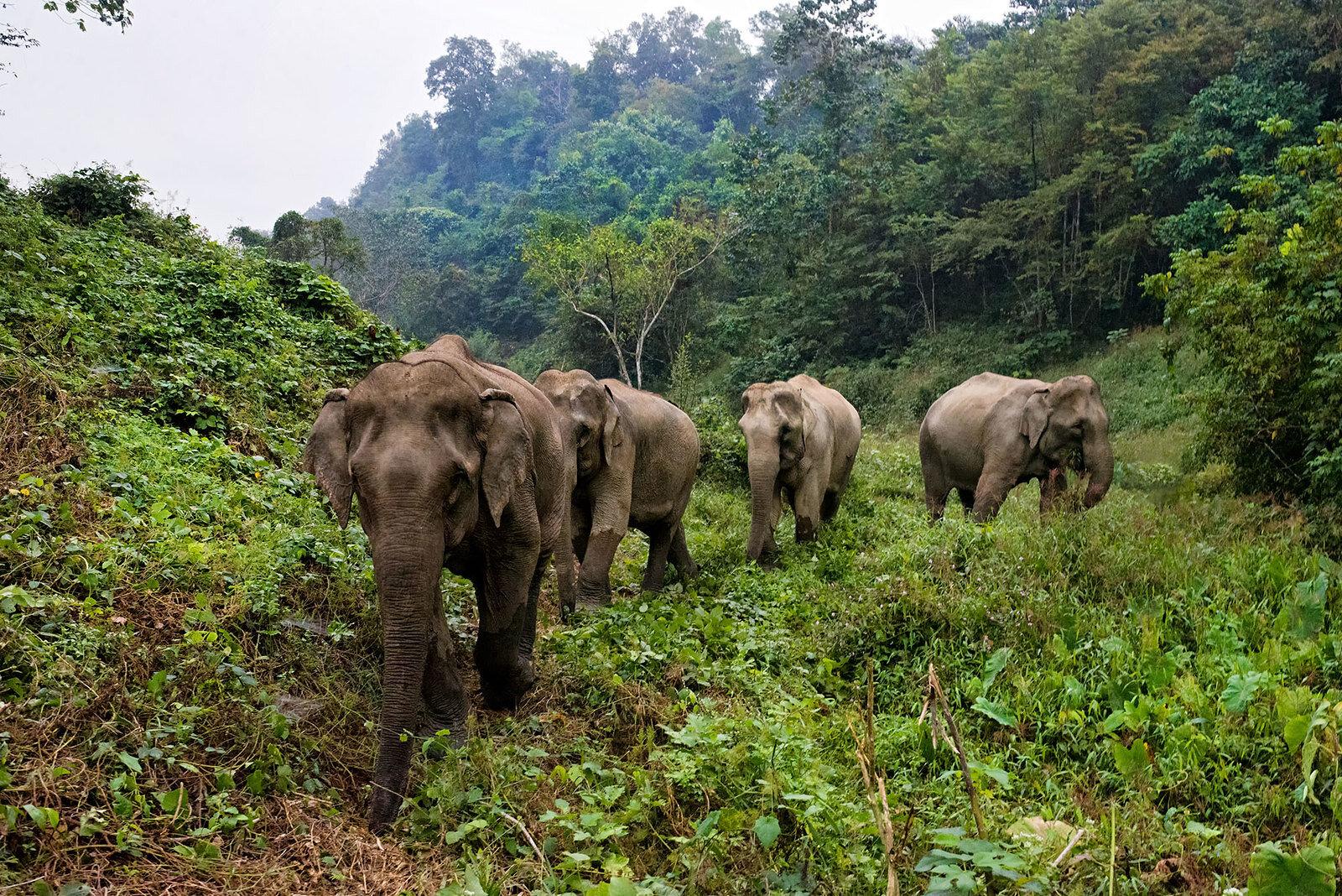 Elephant Volunteer Project, Laos