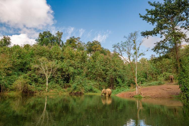 Elephants walking to river in Laos