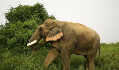 Male elephant in India