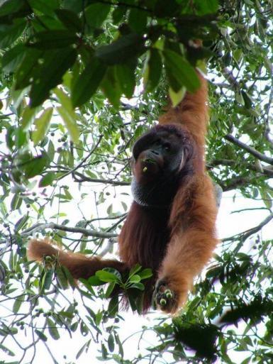male orangutan in Borneo