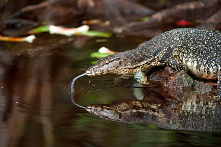 monitor lizard Indonesia