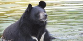 Moon bear at sanctuary in India