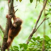 Orangutan Conservation Volunteer Project, Indonesia
