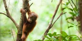 Orangutan in Sabangau rainforest Indonesia