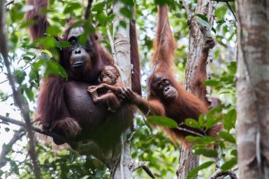 alttagOrangutan Conservation | Volunteer Indonesia | WorkingAbroad