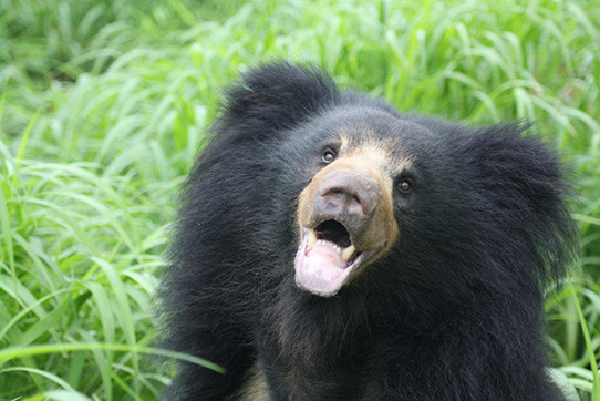 Sloth bear in India