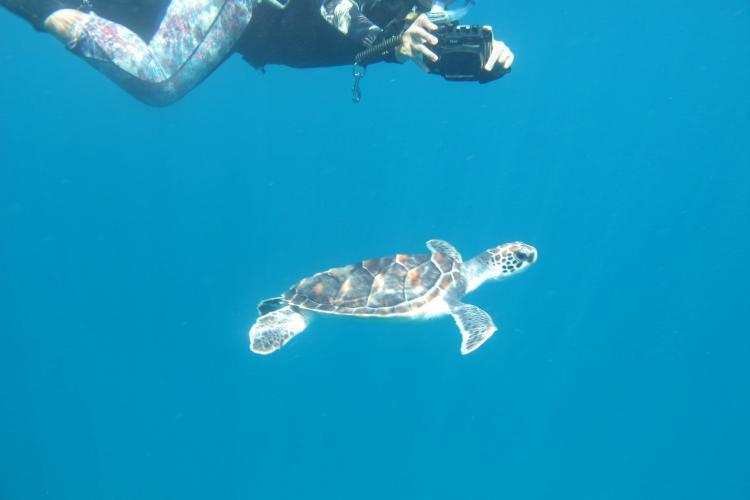 Volunteer observing sea turtle underwater in Thailand