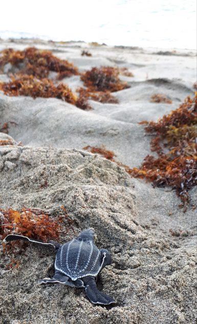 Baby sea turtle on beach in Grenada