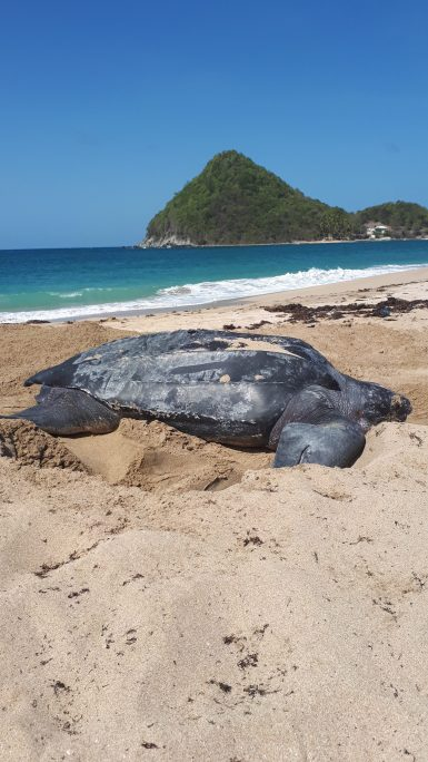 Leatherback Turtle in Grenada Sea Turtle Volunteering | Caribbean Volunteer
