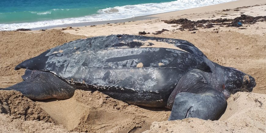 Leatherback Turtle in Grenada