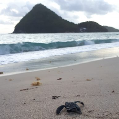 Sea turtle on beach in Grenada