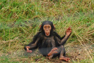Baby chimpanzee on grass in South Africa