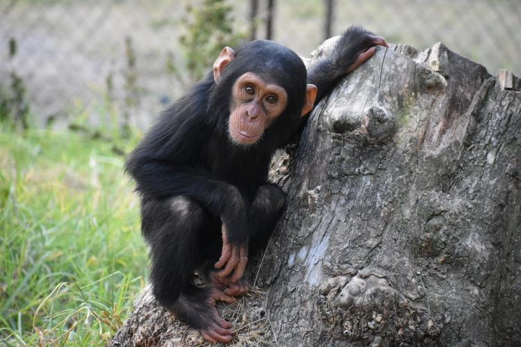 Baby chimpanzee in South Africa