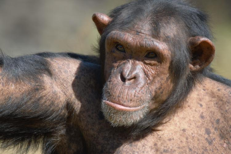 Chimpanzee at Jane Goodall sanctuary in South Africa