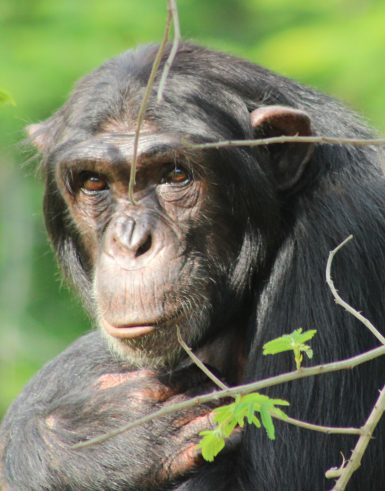 Chimpanzee in South Africa