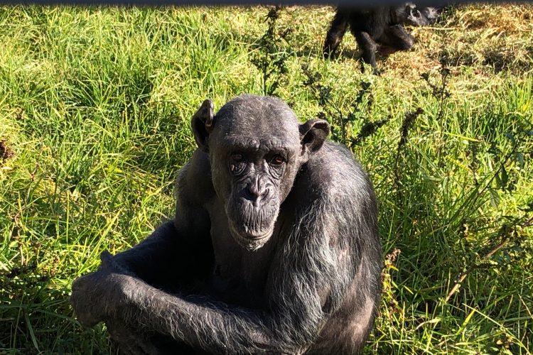 Chimpanzee in grass in South Africa
