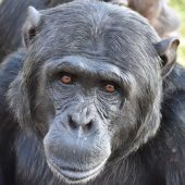 Volunteer at the Jane Goodall Chimpanzee Sanctuary in South Africa