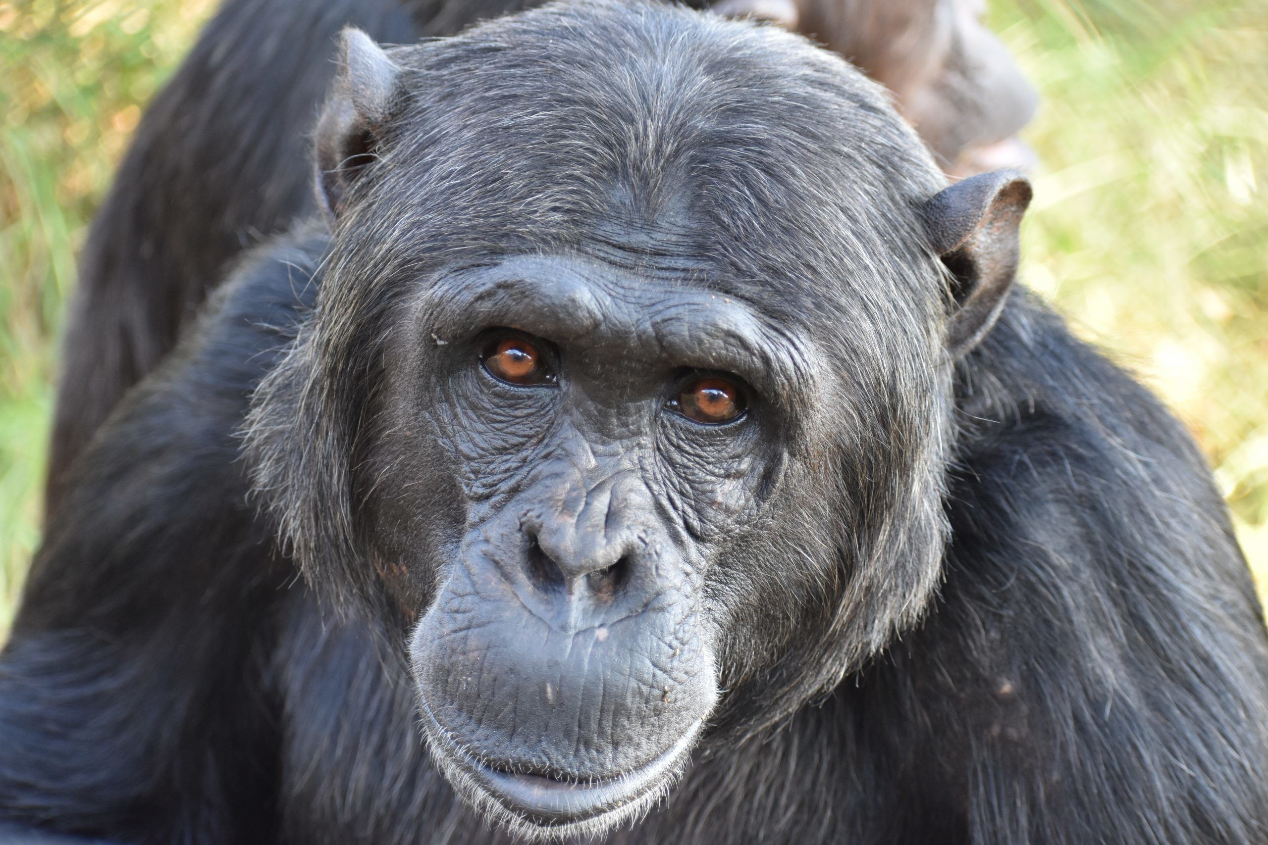 Chimpanzee at sanctuary in South Africa